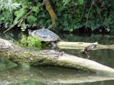 Turtle spotted along the Paddington Canal Arm, London